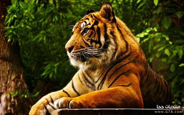��� ���� ����� � ���� � ���� ��� ���� ���� ���� Cute Tigers images 2015